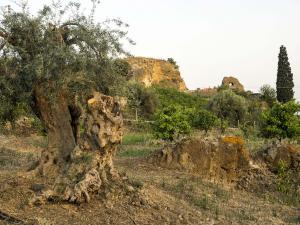 oliovo-secolare-e-pietra-pirciata